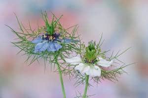 fleurs pour faire de l'huile de nigelle