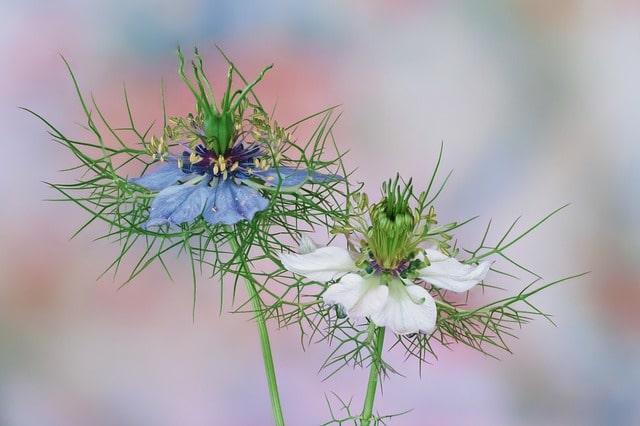 Les fleurs de nigelle