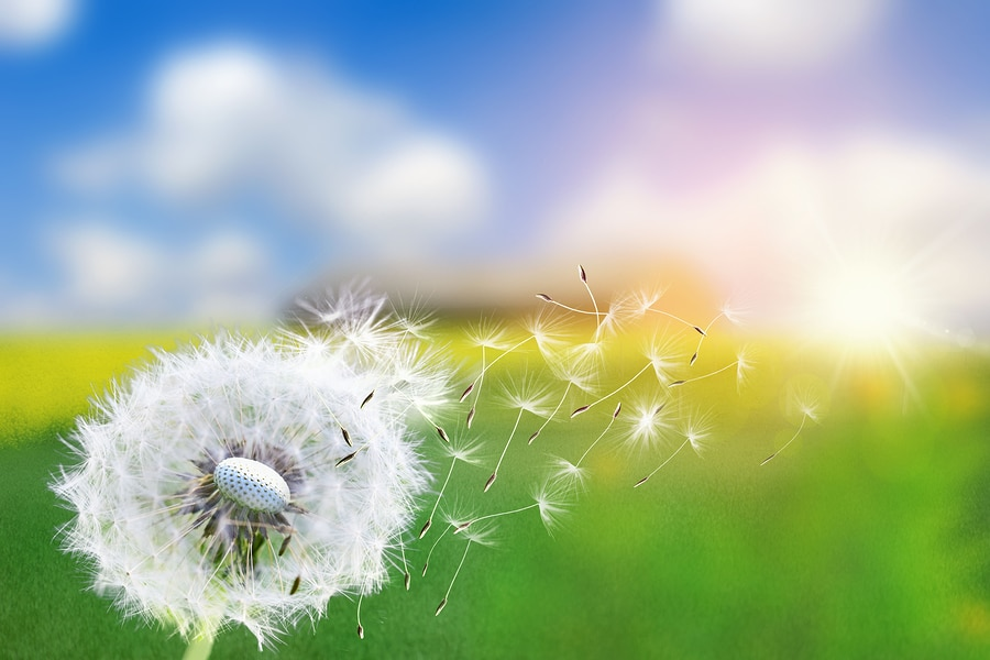 pollen qui déclenche allergie